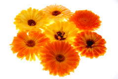 Orange gerberas Royalty Free Stock Photo