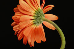 Orange gerberas Royalty Free Stock Image