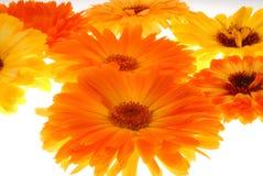 Orange gerberas closeup Stock Images