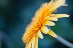 Orange gerberas daisy flower. In close up stock photo