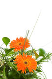 Orange gerberas isolated Royalty Free Stock Photos