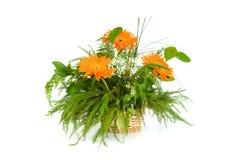 Orange gerberas isolated Royalty Free Stock Photo