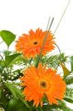 Orange gerberas isolated Royalty Free Stock Image