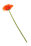 Orange gerberas on a long thin stem Royalty Free Stock Images
