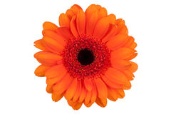 Orange gerberas on a long thin stem Royalty Free Stock Photography