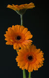 Orange gerberas Stock Photography