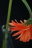 Orange Gerberasflasche Lizenzfreie Stockbilder