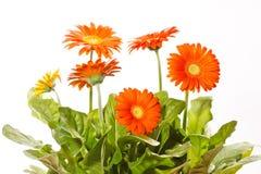 Orange gerbers Royalty Free Stock Image