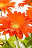 Orange gerbers Stock Photos