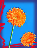 Orange gerbers Royalty Free Stock Photography
