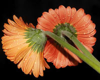 Orange gerbers. Close up in the sunshine Stock Image