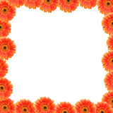 Orange gerbers flowers Stock Photo