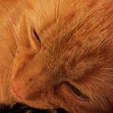 Orange Gesicht der getigerten Katze Stockbilder