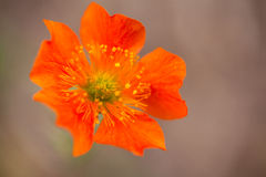 Orange Geum Flower Earthy Background. This perennial herbaceous plant, known as a geum coccineum (Werner Arends) cultivar from the rose family, is found at Stock Photo
