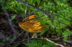 Orange giftsvamp i ormbunkar arkivbilder