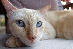 Orange ginger tabby cat laying on wooden with serious funny face from thailand stock image