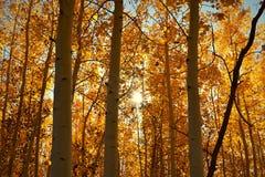Orange glöd av asp- träd Arkivfoto