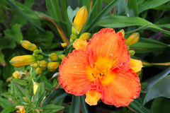 Orange Gladiola Flower and Buds Stock Image