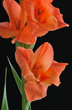 Orange Gladiolas Stock Image