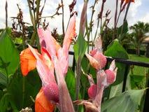 orange Gladioleblumen nach einem leichten Regen Stockfotografie