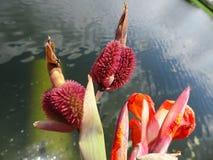 orange Gladioleblumen nach einem leichten Regen Stockbild