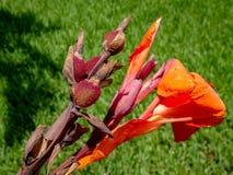 orange Gladioleblumen nach einem leichten Regen Stockfoto