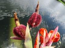orange Gladioleblumen nach einem leichten Regen Lizenzfreies Stockbild
