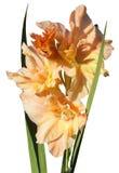 Orange gladiolus Fotografering för Bildbyråer