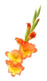 Orange gladiolus Royalty Free Stock Photography