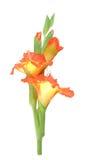 Orange gladiolus Stock Photo