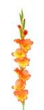 Orange gladiolus Royalty Free Stock Images