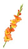 Orange gladiolus Stock Image