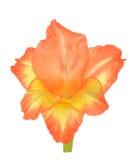 Orange gladiolus flower Royalty Free Stock Photo