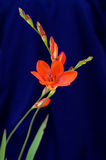 Orange Gladiolus flowers over blue - Gladiolus sp. Royalty Free Stock Photography