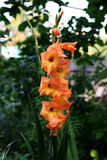 Orange gladiolus Royalty Free Stock Images