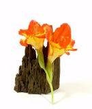 Orange gladiolus Royalty Free Stock Photo