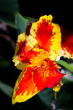 Orange Gladiolus Tropical Flowers Royalty Free Stock Photos