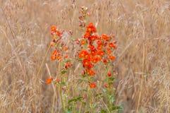Orange globe Flower blossoms Royalty Free Stock Image