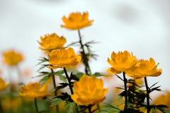Orange globe-flower Royalty Free Stock Photography