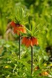 Orange Glockenblume lizenzfreie stockbilder