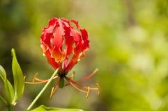 Orange Glory lily close up (gloriosa superba) Royalty Free Stock Image