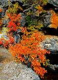 Orange Glow. Fall colors by the rocks along the Deschutes River at Dillon Falls near Bend, OR royalty free stock images