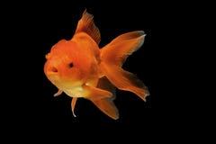 Orange gold fish isolate Royalty Free Stock Photography