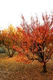 Orange And Gold Trees Royalty Free Stock Photography