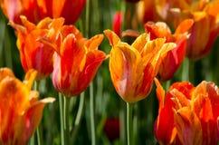 Orange and gold tulips Stock Photos