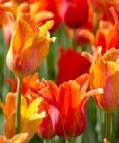 Orange and gold tulips Royalty Free Stock Photo