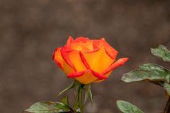 Orange and Golden Rose in a Garden royalty free stock photography