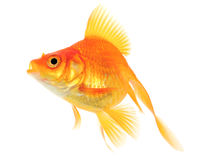 Orange Goldfish Stock Photography