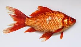 Orange, Goldfish, Fish, Bony Fish royalty free stock photography