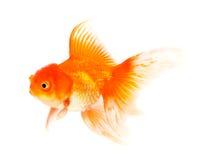 Orange Goldfish Isolated on White Background Royalty Free Stock Photos
